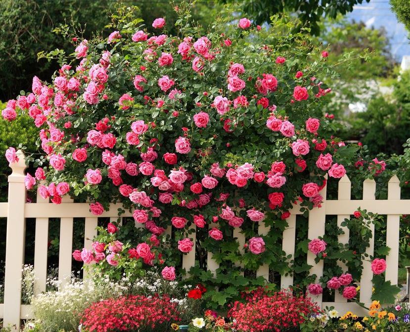 datiranje jantarne ruže